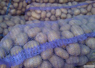 Продам крупный картофель оптом