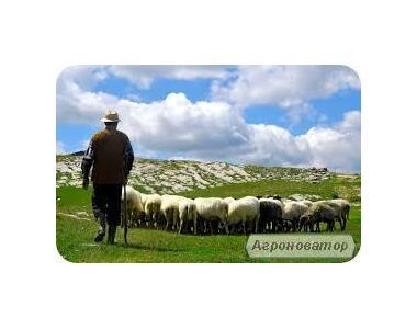 Срочно продам баранов, овец