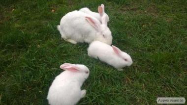 СРОЧНО!!! Продам Кролицу Белый паннон СРОЧНО!!!