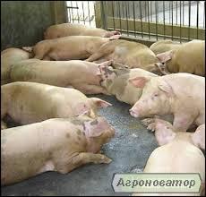 Свині живою вагою