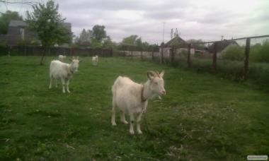 Продам кіз і кізок.