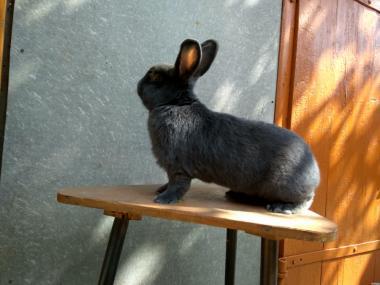 Кролик породи Віденський голубий