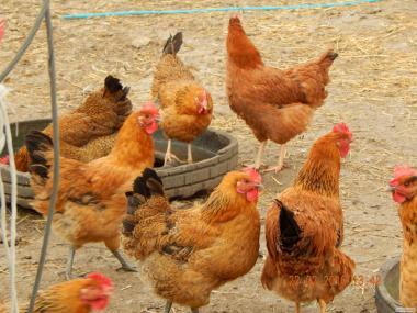 яйця інкубаційні породи кучинська ювілейна