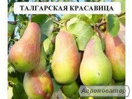 Саженец груши Талгарская Красавица