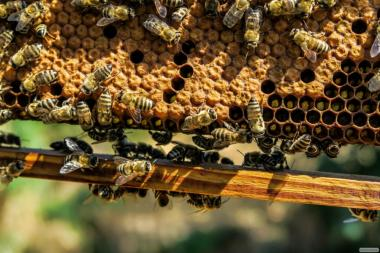 Пчеломатки. Рабочие Пчёлы. Матки Бакфаст и Карника. Buckfast. Karnika.