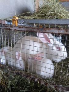 Кролики бройлерных мясных пород