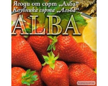 Рассада клубники Альба