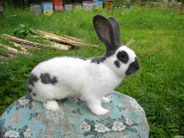 Продаются кролики породы : Немецкий Пестрый Великан (строкач)