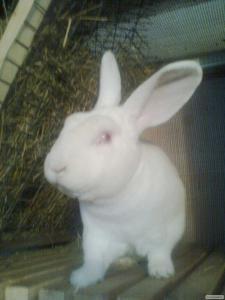 Продам кролики белый рекс.НОБ.полтавское серебро