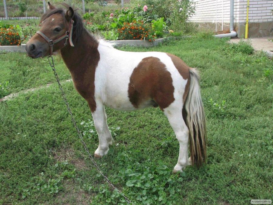Продается шетлендський пони.