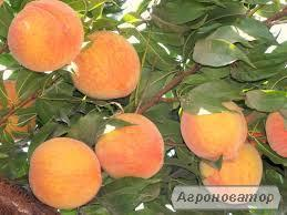 Саджанці персика Т3 Вайн Голд