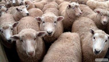 Продам овець породи меринос