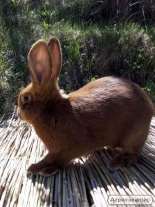 Кролики НЗК 2 - 3 міс.