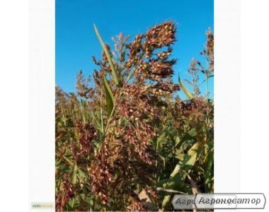 Насіння суданської трави. Сорт Миронівська-10