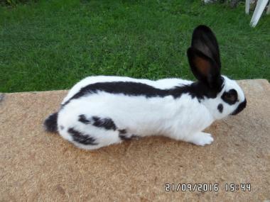 Кролики мясных пород Строкач