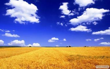Куплю пшеницю всіх сортів за вигідною для Вас ціною