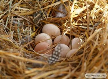 Продам инкубационное яйцо фазана