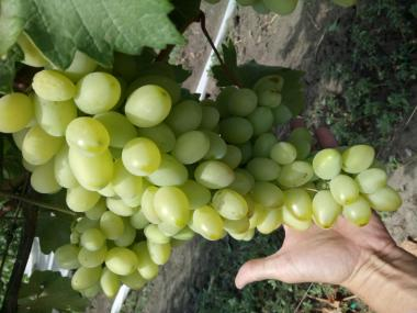 виноград свежий столовых сортов