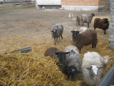 Вівці продам