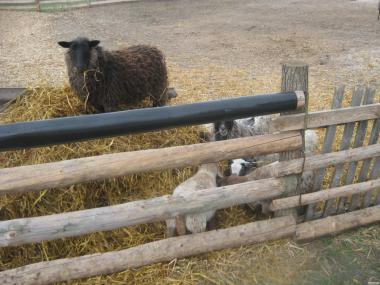 Овцы продам