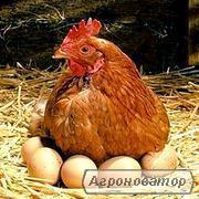 Яйце Ломан Браун, Тетра-н, Домінант, Опт.