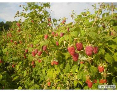 Продам  саджанцы ремонтантной и летних сортов малины