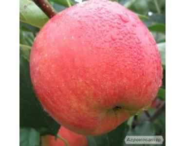 Саджанці яблуні Чемпіон.