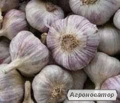 Продам чеснок домашний со своего огорода до 100 кг по цене 45 грн./кг