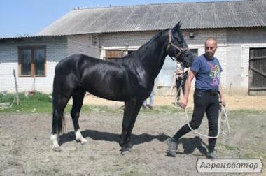 Верхові коні породи Ахалтекінська