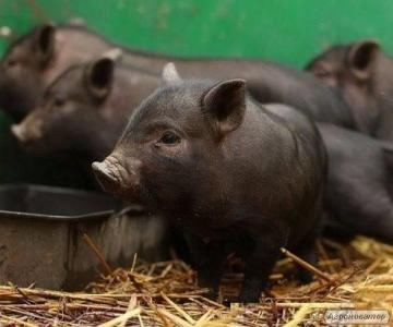 Терміново продам - поросят породи мангал, свині беконні, дикий.
