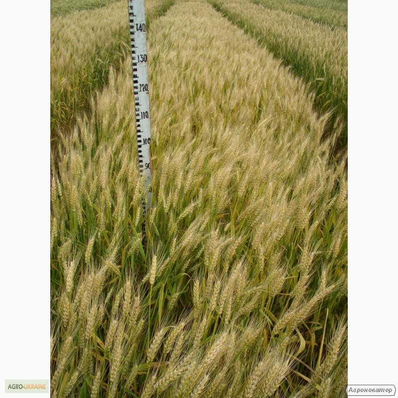 Насіння озимої пшениці - сорт Смуглянка. Еліта та 1 репродукція