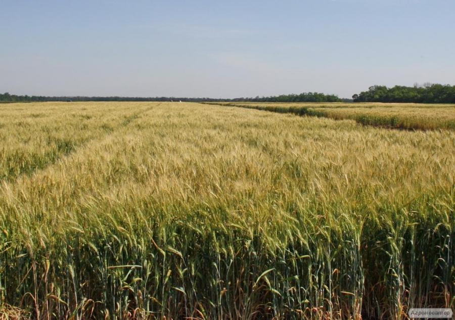 Семена твердой пшеницы  озимой - сорт Гардемарин . Элита