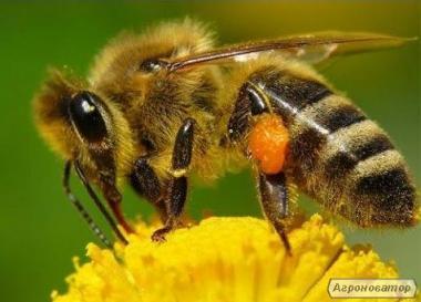 Продам пчелопакеты 900шт