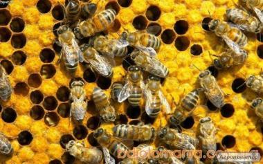Продам гарні бджолопакети та сім'ї.