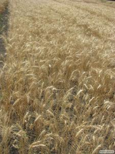 Семена пшеницы  озимой - сорт Жайвир. Элита и 1 репродукция
