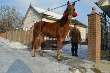 Продам лошака торійця
