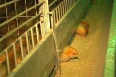 Клітка для утримання курчат КЦ-4