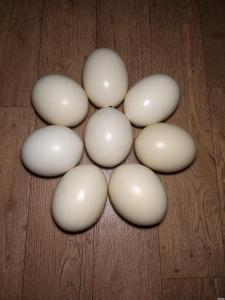 Продам порожні страусині яйця