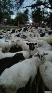 Овцы, коровы,бычки,козы сразу в одном месте