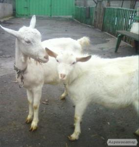 Зааненські кози і Ламанча.вибір.козенята