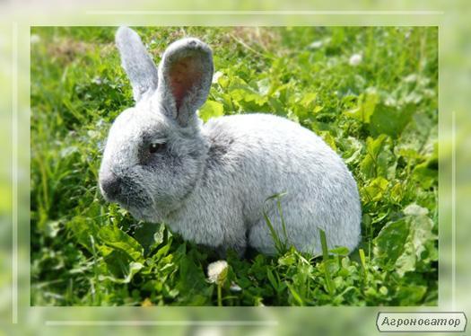 Кролики: серый великан, серебристые, бабочка.