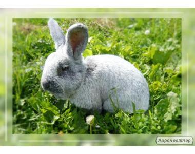 Кролики: сірий велетень, сріблясті, метелик.