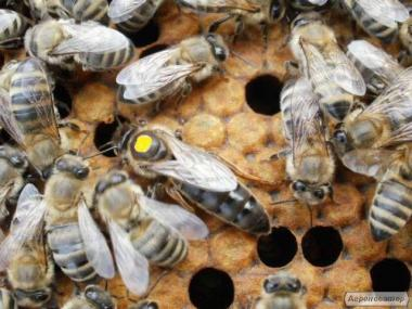 ПЛІДНІ БДЖОЛОМАТКИ Карпатка 2018 року (Бджоломатка, Бджолині матки)