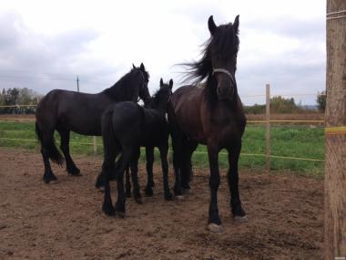 Фризская лошадь, продажа