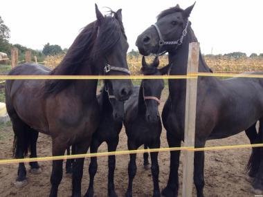 Фризька кінь, продаж