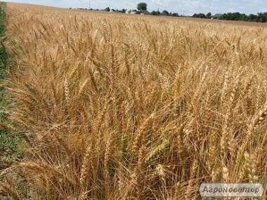 Продам семена озимой пшеницы Рино (Канада)