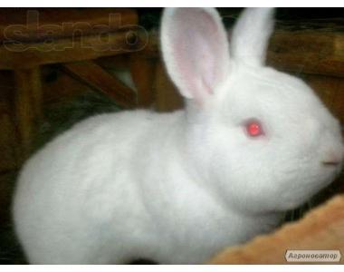 Кролики Новозеландські білі