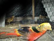 Продам фазанів дорослих і молодняк свого вирощування