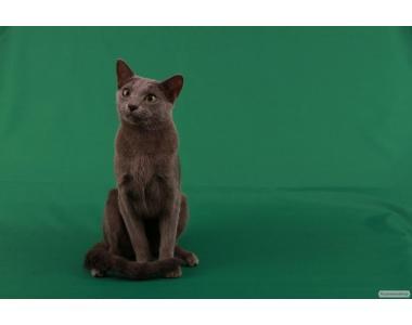 "Продам кошенят породи ""Російська блакитна"""
