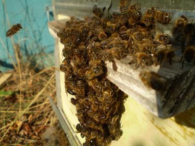 Привезу на заказ пчелопакеты в 2017 году